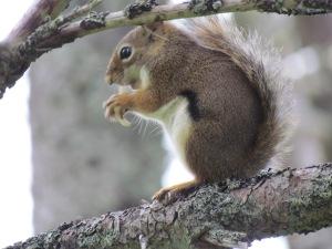 Eichhörnchen auf Ast