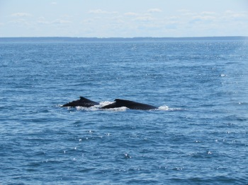 Zwei Finwale: Kuh und Kalb, Brier Island, Nova Scotia (c) tanadia.com
