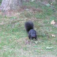 Schwarze Eichhörnchen gibt's also auch - (c) tanadia.com
