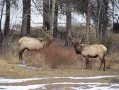 Hirsche in Banff 01 (c) tanadia.com
