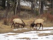 Fighting Elk in Banff, Alberta (c) tanadia.com