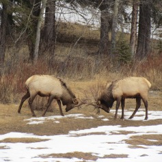 Fighting Elk in Banff, Alberta (c) tanadia.com
