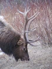 Hirsche in Banff 05 (c) tanadia.com