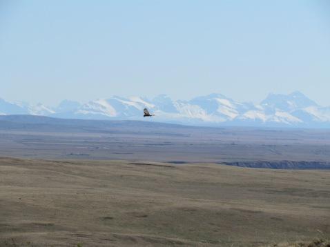 Bold Eagle, im Hintergrund sieht man die Rockies